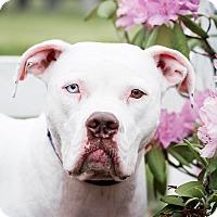 Adopt A Pet :: Sweat Pea - Vancouver, WA