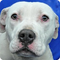 Boxer/American Pit Bull Terrier Mix Dog for adoption in Pagosa Springs, Colorado - Delilah