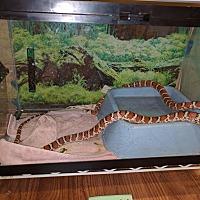 Adopt A Pet :: AZ Mountain King - Woodbridge, VA