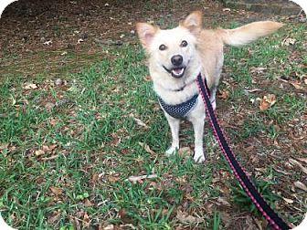 Golden Retriever/Cardigan Welsh Corgi Mix Dog for adoption in Santa Fe, Texas - Layla Krueger