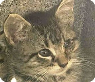 Domestic Mediumhair Kitten for adoption in Westerly, Rhode Island - Gabe and Todd babies