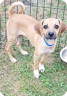 Beagle/Pug Mix Puppy for adoption in Hammonton, New Jersey - tripp
