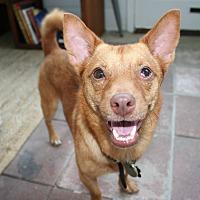 Adopt A Pet :: Rex - Blue Bell, PA