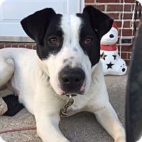 Adopt A Pet :: Sugar - St. Charles, MO