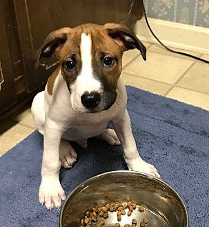 American Bulldog/Labrador Retriever Mix Puppy for adoption in Savannah, Georgia - Spud
