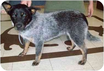Australian Cattle Dog Puppy for adoption in North Judson, Indiana - Baby Girl