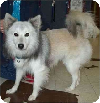 Keeshond Mix Dog for adoption in North Judson, Indiana - Bo