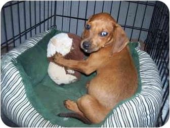 Redbone Coonhound Mix Puppy for adoption in Broadway, New Jersey - Suzi