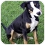 Photo 1 - Smooth Fox Terrier/Terrier (Unknown Type, Medium) Mix Puppy for adoption in Marina del Rey, California - Patty