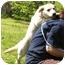 Photo 4 - Labrador Retriever/Basset Hound Mix Puppy for adoption in Portsmouth, Rhode Island - Snowflake