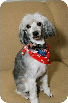 Chinese Crested Dog for adoption in Portland, Oregon - Maddox