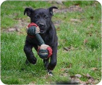 Schipperke Mix Puppy for adoption in New Boston, New Hampshire - Logan