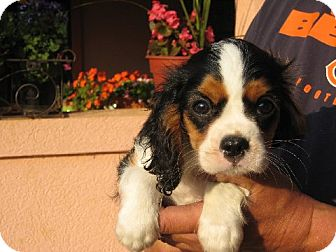 Cavalier King Charles Spaniel Puppy for adoption in Westport, Connecticut - Ainsley