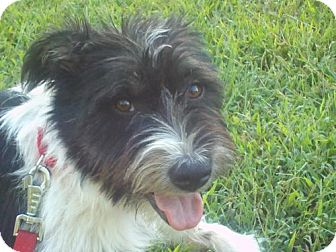 Terrier (Unknown Type, Medium) Mix Dog for adoption in Beacon, New York - Pippa (in New England - Urgent