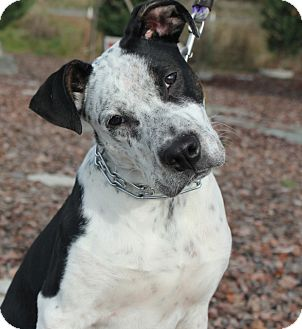 Spaniel (Unknown Type)/Blue Heeler Mix Puppy for adoption in Grants Pass, Oregon - Oliver