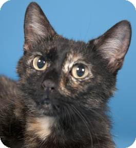 Domestic Shorthair Cat for adoption in Chicago, Illinois - Matilda