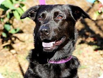 Labrador Retriever Mix Dog for adoption in Bradenton, Florida - Silas