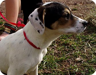 Treeing Walker Coonhound Mix Dog for adoption in Bartonsville, Pennsylvania - Daphne