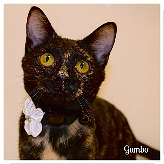 Domestic Shorthair Cat for adoption in Arlington/Ft Worth, Texas - Gumbo
