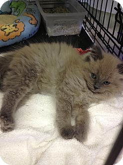 Himalayan Kitten for adoption in Byron Center, Michigan - Stuffy