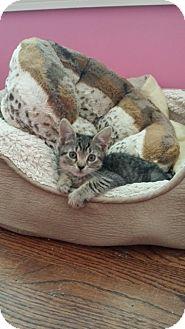 Domestic Shorthair Kitten for adoption in Long Beach, New York - Mitzi