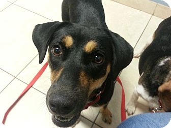 Shepherd (Unknown Type) Mix Dog for adoption in Huntley, Illinois - Carley