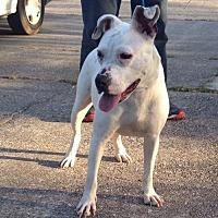 Labrador Retriever Mix Dog for adoption in Slidell, Louisiana - Snow White