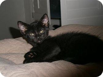 Domestic Shorthair Kitten for adoption in Phoenix, Arizona - Andy