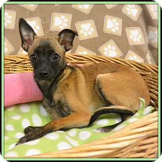 Cairn Terrier/Chihuahua Mix Dog for adoption in Glendale, Arizona - Goldie