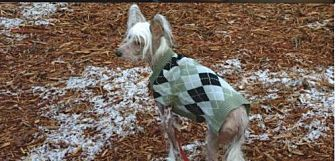 Chinese Crested Dog for adoption in Kingston, New York - Jordan (MI)