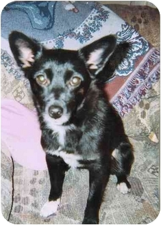 Schipperke/Border Collie Mix Dog for adoption in Kansas City, Missouri - Phoebe