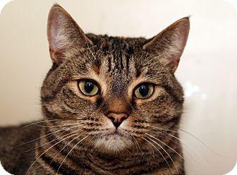 Domestic Shorthair Cat for adoption in Royal Oak, Michigan - SKITTER