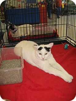 Domestic Mediumhair Cat for adoption in Green Cove Springs, Florida - Ms. Mellow