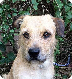 Border Terrier Mix Dog for adoption in Corona, California - GEORGE