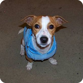 Jack Russell Terrier Dog for adoption in DeLand, Florida - Romeo