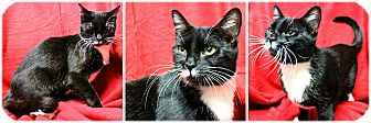 Domestic Shorthair Cat for adoption in Forked River, New Jersey - Olympia