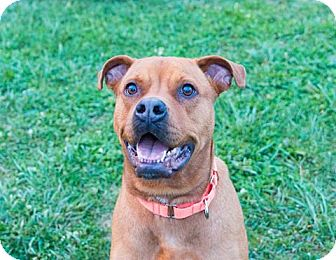 Hound (Unknown Type)/Boxer Mix Dog for adoption in Seville, Ohio - Max