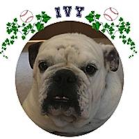 Adopt A Pet :: Ivy - Park Ridge, IL