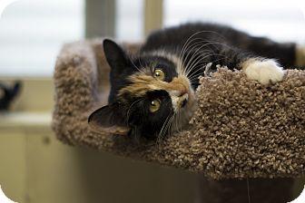 Domestic Shorthair Kitten for adoption in Fremont, Nebraska - Mae