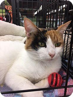 Domestic Shorthair Cat for adoption in Richmond, Virginia - Luna