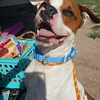 Pit Bull Terrier Mix Dog for adoption in Tucson, Arizona - Oddball