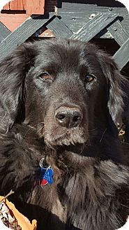 Flat-Coated Retriever/Newfoundland Mix Dog for adoption in Albemarle, North Carolina - Winston