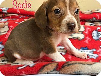 Beagle Puppy for adoption in Zanesville, Ohio - Sadie