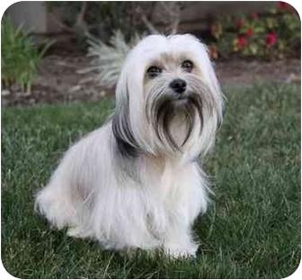 Maltese/Shih Tzu Mix Dog for adoption in Newport Beach, California - HAYDEN