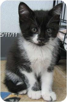 Domestic Shorthair Kitten for adoption in Republic, Washington - Melvin