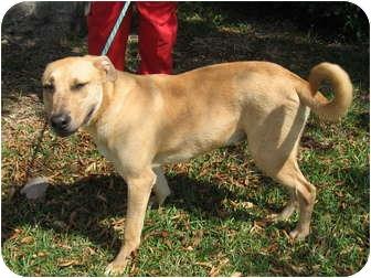 Labrador Retriever Mix Dog for adoption in Pompano Beach, Florida - Jack