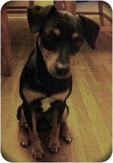 Doberman Pinscher Mix Dog for adoption in Haughton, Louisiana - Chino