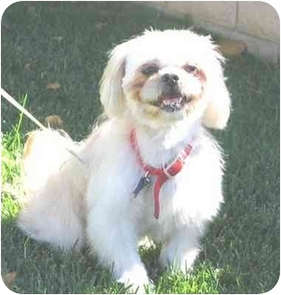 Lhasa Apso/Pekingese Mix Dog for adoption in Simi Valley, California - BEBE