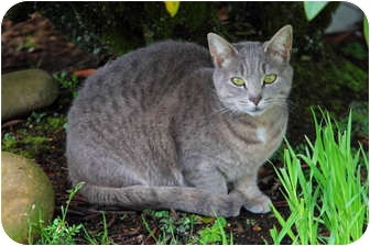 Domestic Shorthair Cat for adoption in Tillamook, Oregon - Smokey
