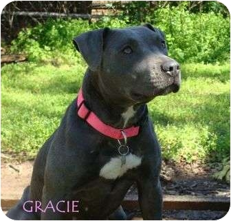 American Staffordshire Terrier/American Pit Bull Terrier Mix Dog for adoption in Burleson, Texas - Gracie